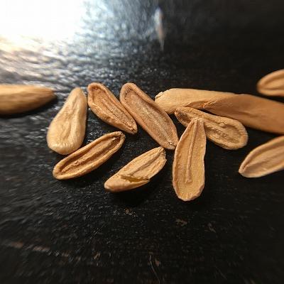 パキポディウムの種子