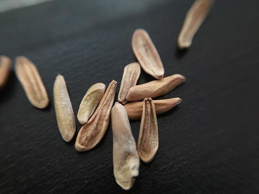 グラキリスの種子