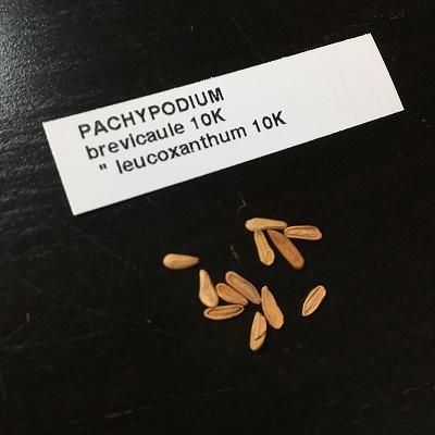 レウコキサンツムの種子