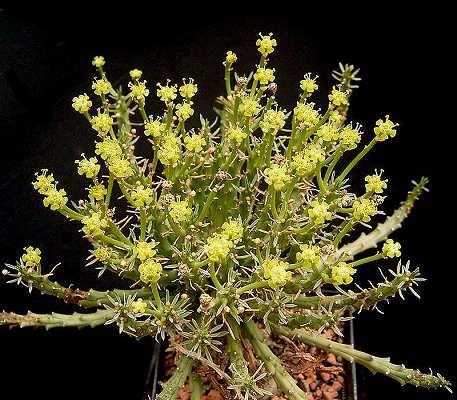 Euphorbia_arida