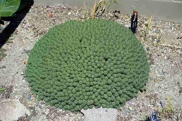 Euphorbia_clavarioides
