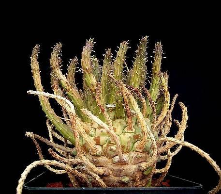 Euphorbia_fusca