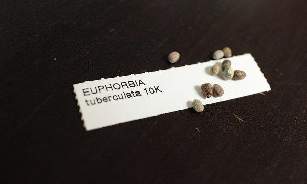 ツベルクラータ種子