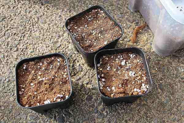 ドルステニア 種まき用土