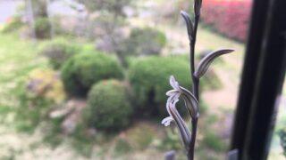 ハオルチアの花