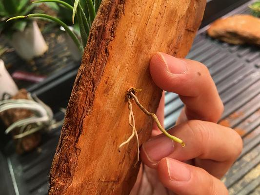 チランジアの根