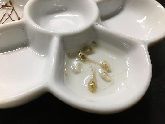 オトンナロバタ種子
