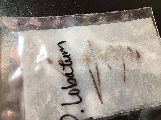 ペラルゴニウムロバツム発芽