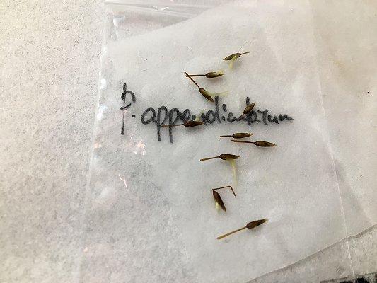 アッペンディクラツム発芽
